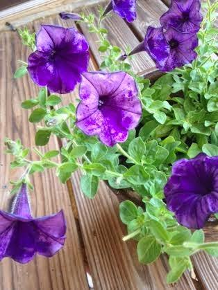 Damanged dark purple petunias