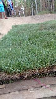 Rumput zoysia rumput manila lapangan bola sukabumi jawabarat tahun 2021