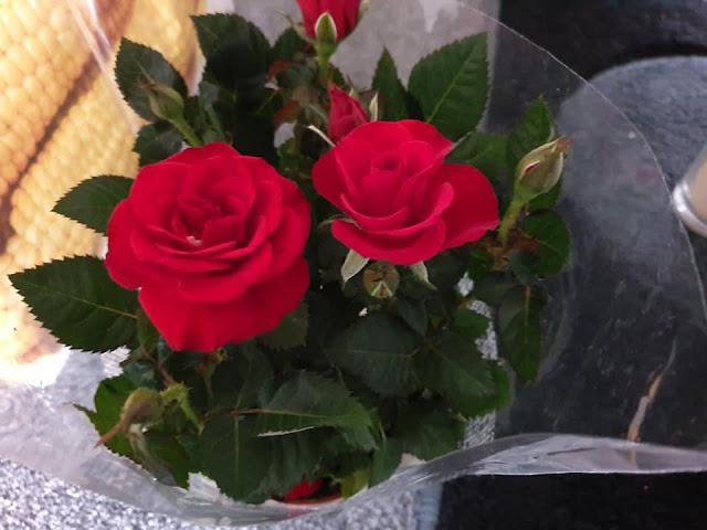 mini-indoor-roses