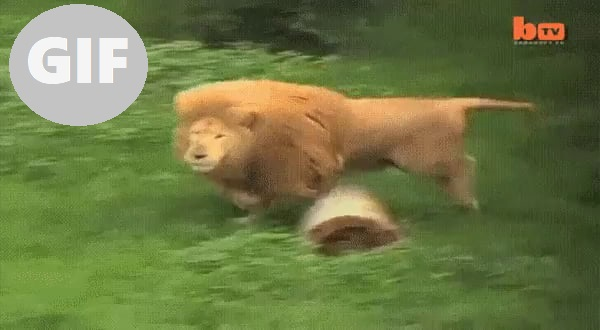 Lion jumps in the water to get his ball back