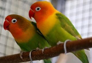 Harga Lovebird Palamas Beserta Ciri-Cirinya