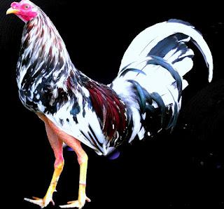 gallo español cubano