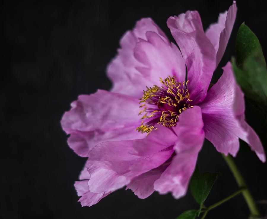 Blog + Fotografie by it's me! | fim.works | Bunt ist die Welt | Blumen | aufgeblühte rosa-fliederfarbene Bauernpfingstrose vor Schwarz
