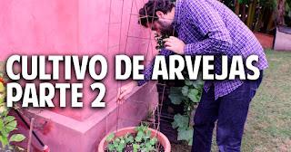 Como entutorar arvejas, guisantes, chicharos o tirabeques en maceta - cultivo paso a paso parte 2 - 1