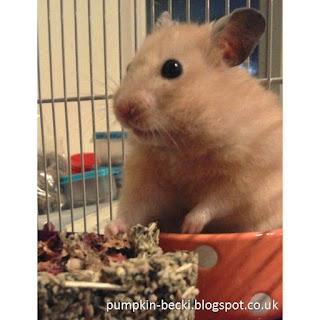 Cookie Syrian hamster Instagram