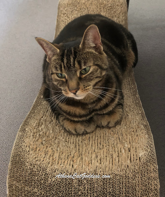Cat on PetFusion Scratcher Lounge
