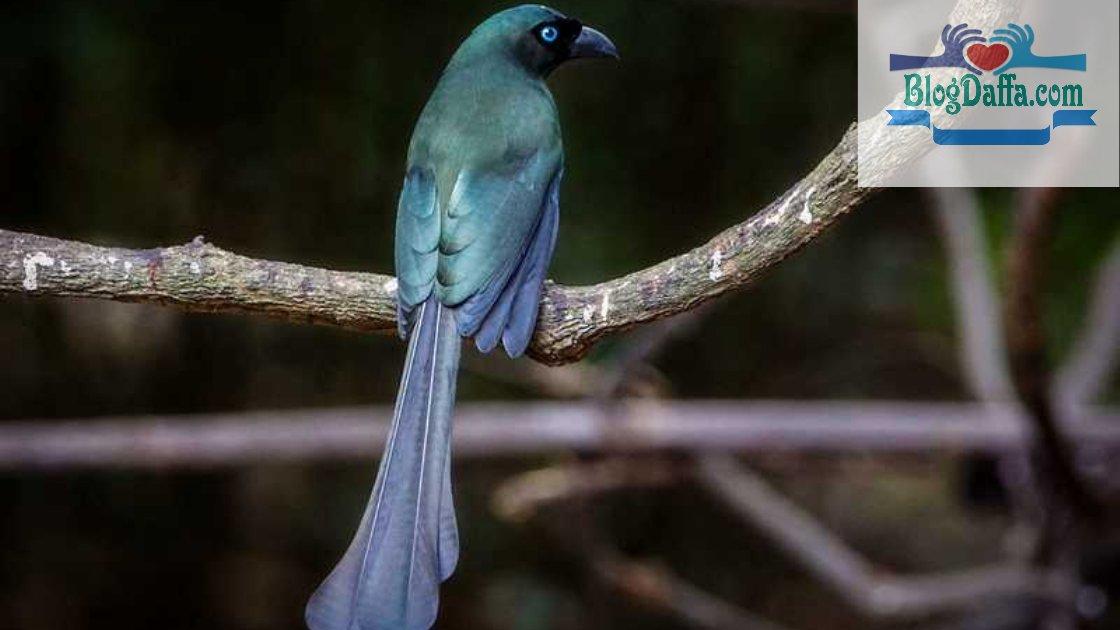 Gambar Burung Murai Papua