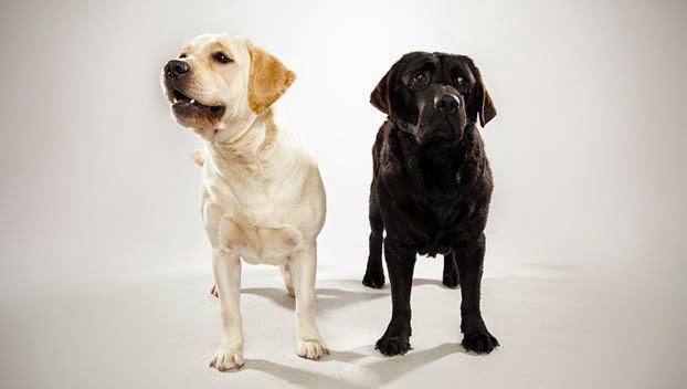 Cute Labrador Retriever Guide Dogs