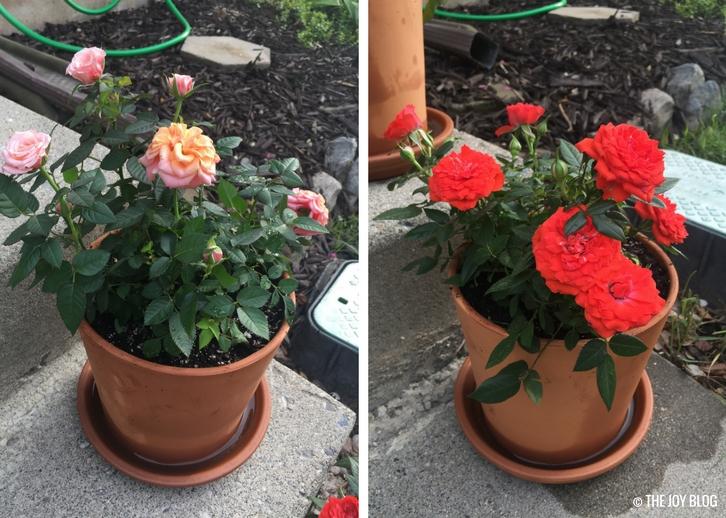 MIni-Roses // Garden Updates: Mid-Spring 2018 // www.thejoyblog.net