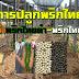 การปลูกพริกไทย การทำพริกไทยดำ-พริกไทยขาว