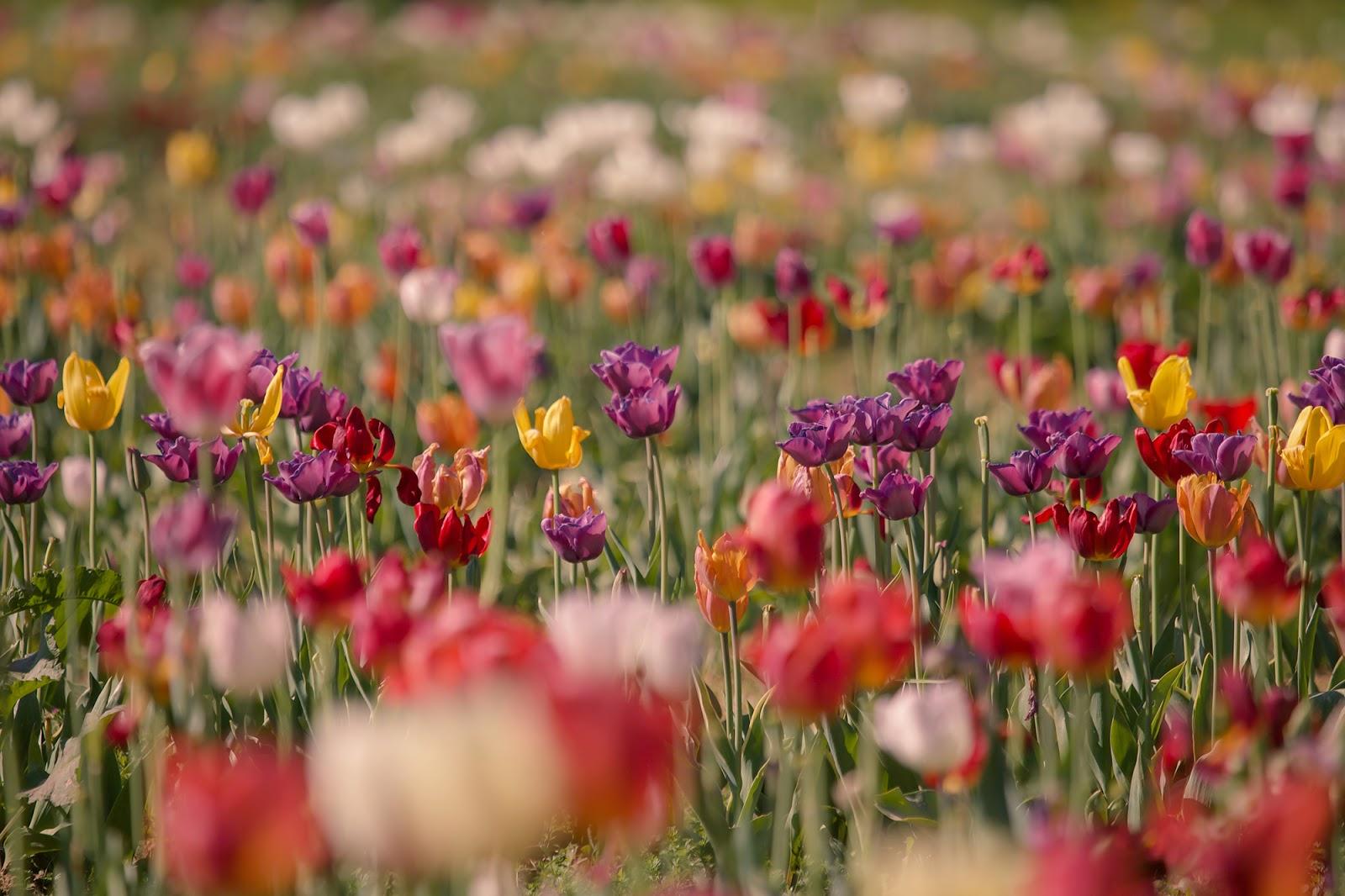 tulipani firenze