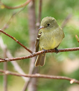 Yellow-bellied Flycatcher, typical individual