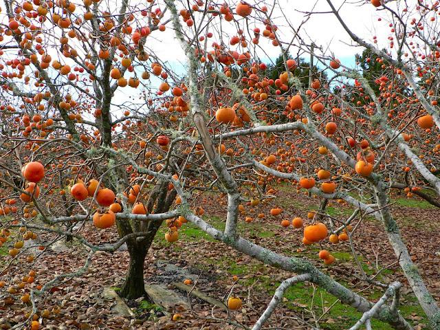 persimmon%2Btree.jpg