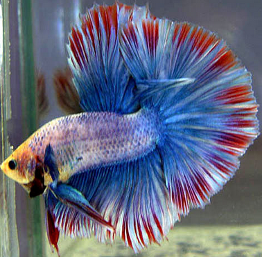Ikan Cupang Siap Kawin Atau Pijah Inilah Cirinya