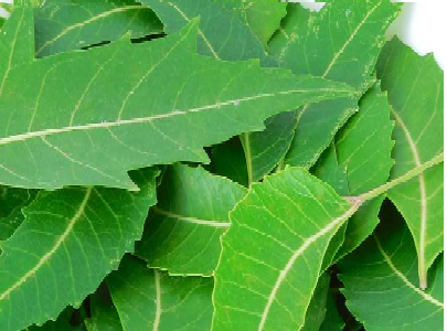 Benefits of Neem leaves (Margosa) and other parts of neem