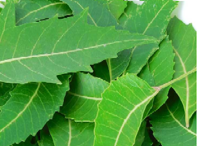 Benefits of Neem for hair, skin and health