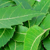 Benefits of Neem leaves (Margosa)  and other parts of neem for hair, skin and health