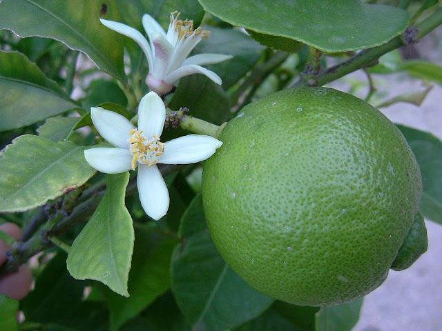 Quả, hoa CHANH - Citrus limonia - Nguyên liệu làm thuốc Chữa Ho Hen