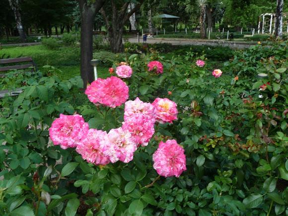 Донецк. Ботанический сад. Розарий