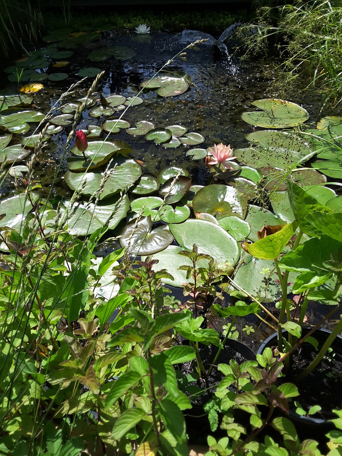Vado a vivere a gorizia piante acquatiche e pesci rossi for Laghetto giardino zanzare
