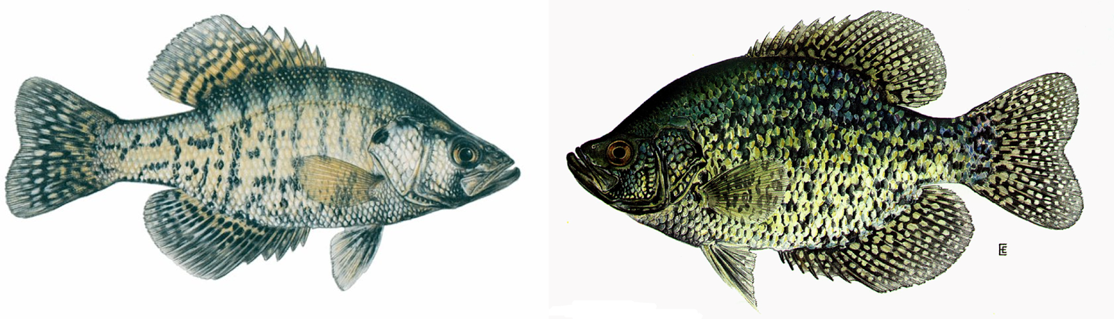 Illustrations Of The White Crappie Left And Black Right