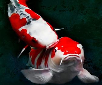 Ikan Koi, Ikan Kolam Hias