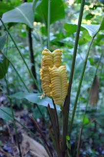 Calathea crotalifera – Rattlesnake Plant