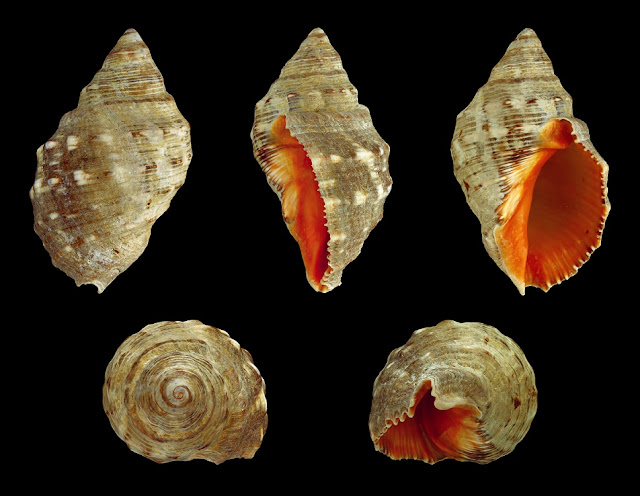 Ancient shellfish used for purple dye vanishes from eastern Mediterranean