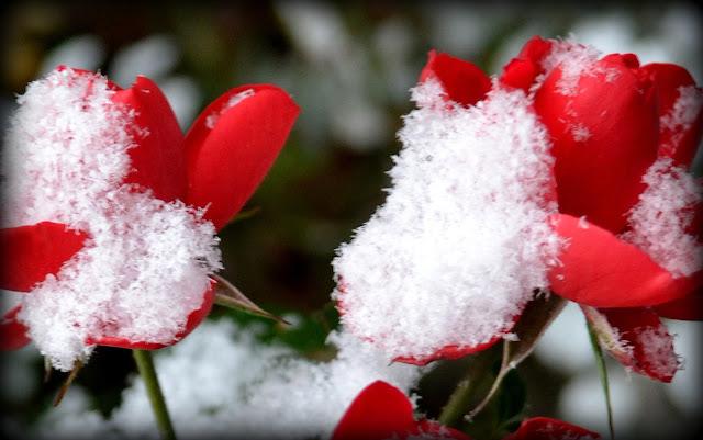 Snow, Roses, Salem, Massachusetts, rare