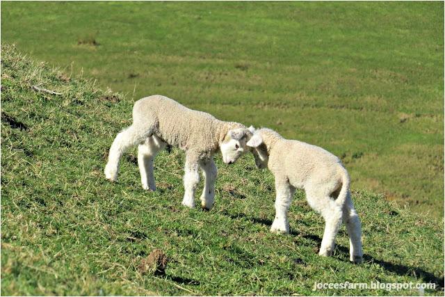 Lambing Starts @ Jocees Farm