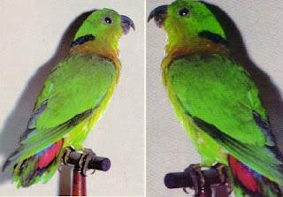 Jenis Lovebrid - Lovebrid Kerah Hitam (Agapornis Swinderniana) - Penangkaran Burung Lovebrid