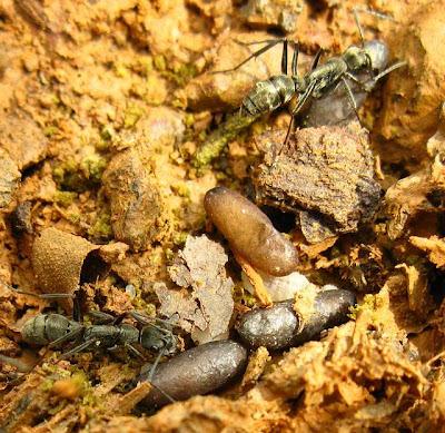 A small nest of Diacamma sp. ant probably of Diacamma rugosum