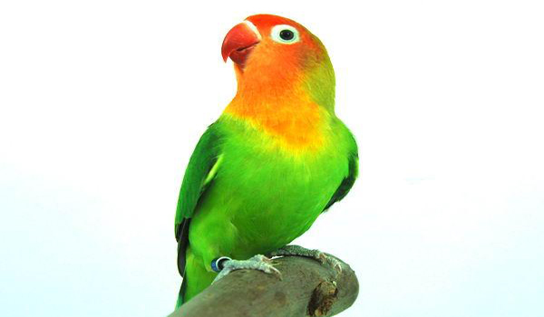 melatih lovebird berbunyi