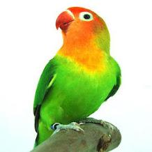 Cara Merawat Lovebird Muda Yang Jarang Berbunyi