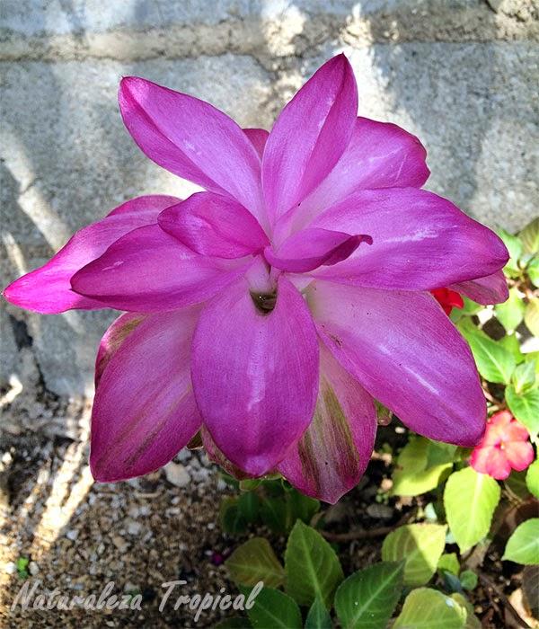Floración de la Flor de Abril, Curcuma zedoaria