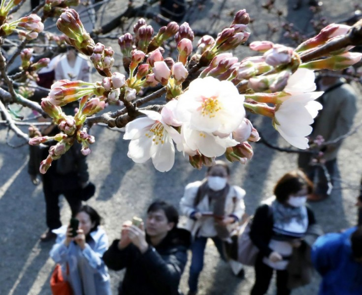 Forecasters watching trees at Yasukuni Shrine said the city's first blossoms had appeared, marking the beginning of two weeks in which Tokyo's parks, temple grounds, schools and streets will explode in pinks and whites.