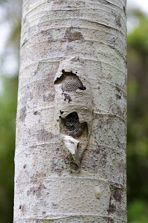 wasp nest on tree trunk in Puriscal