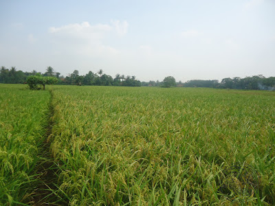 Rice Production Indonesia