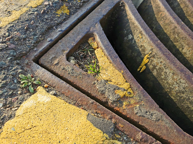 Tiny tuft of grass in earth caught in drainage grid in road gutter by yellow line.