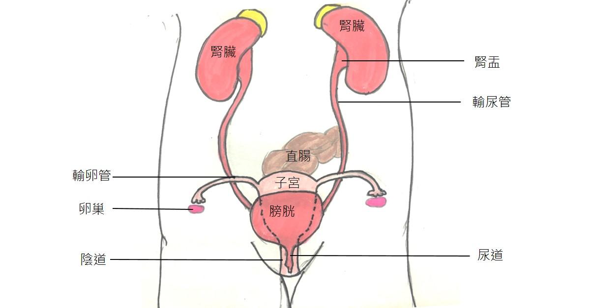 林佩瑜: 腎水腫時尿液分流及管路