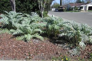 large artichoke plants in garden
