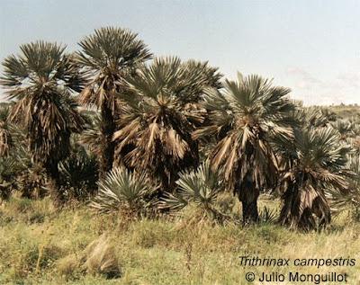 palmeras argentinas Palmera caranday Trithrinax campestris