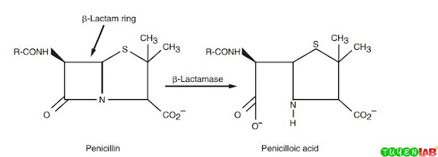 β-Lactamase hydrolyzes the β-lactam ring portion of the penicillin molecule.