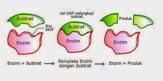 Molekul Energi dan Enzim - sriwahyu