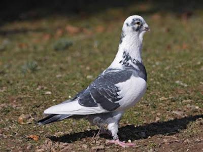 adana pigeons