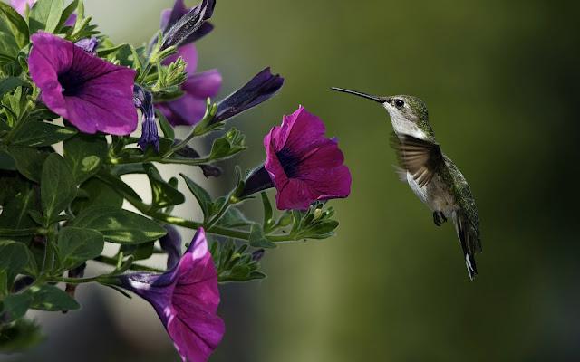 Vliegende kolibrie naast een roze petunia