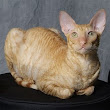 Cornish Rex Cat Pictures