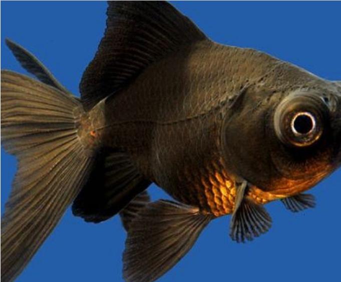Jenis Ikan Mas Koki