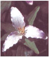 Bunga Tumbuhan Monocotyledoneae (Monokotil)