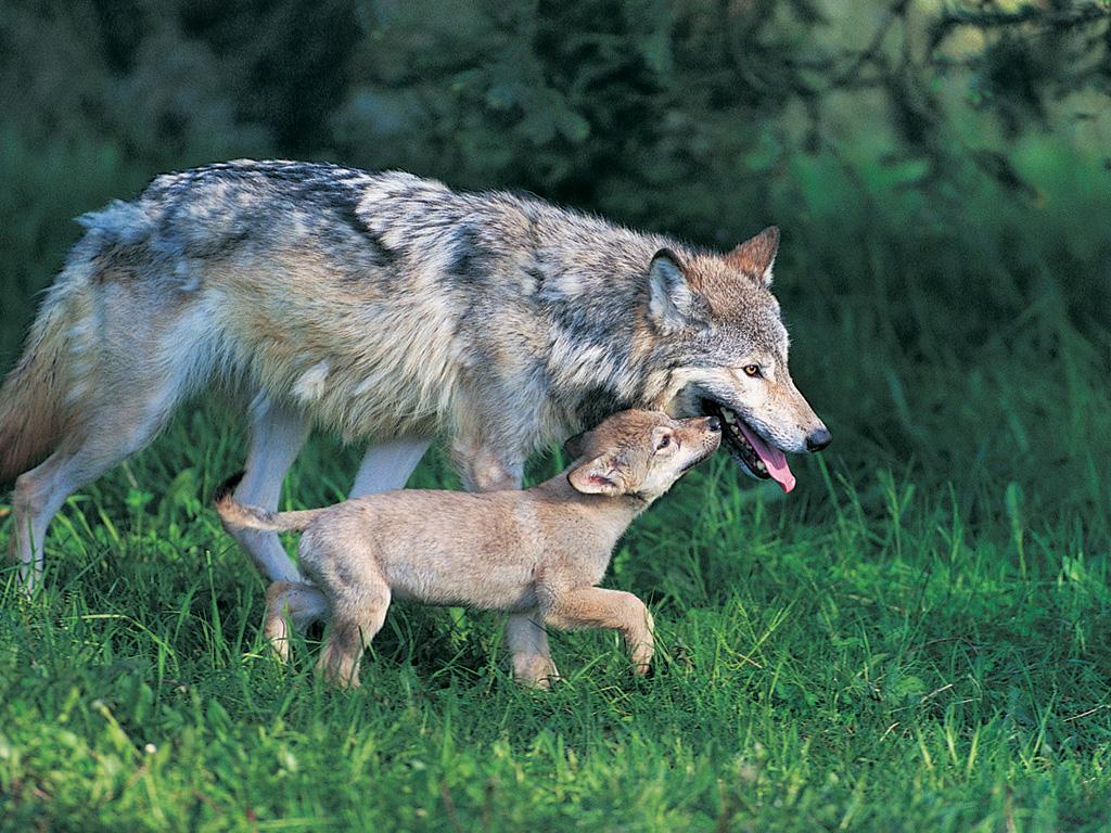 Imagenes De Lobo Para Fondo De Pantalla: Imagenes Hilandy: Fondo De Pantalla Animales Lobo Y Su Cria